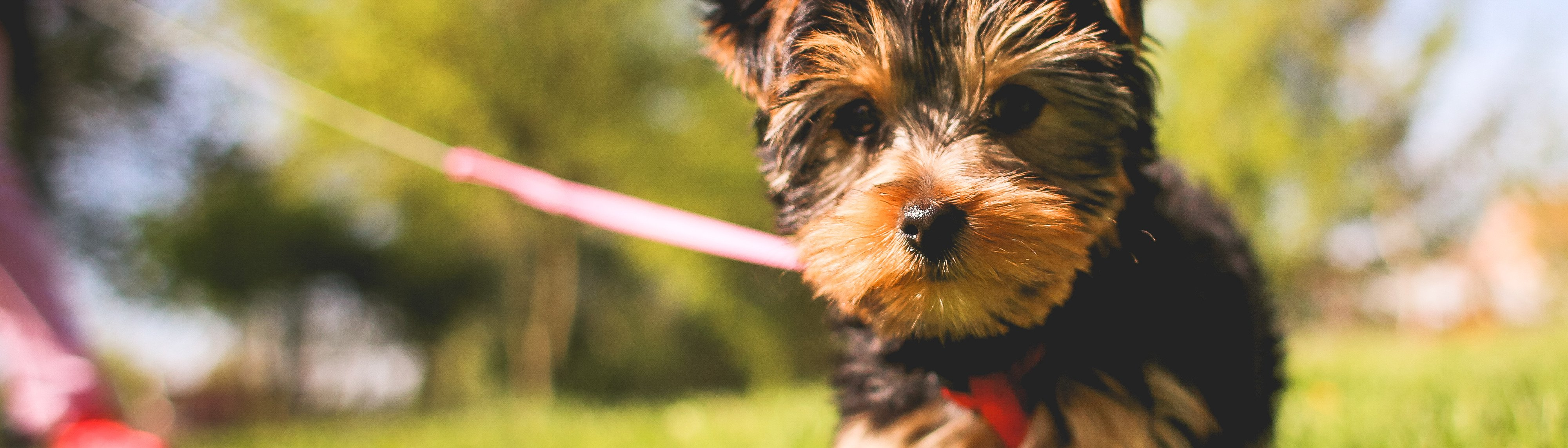 Yorkshire terrier puppy on lead