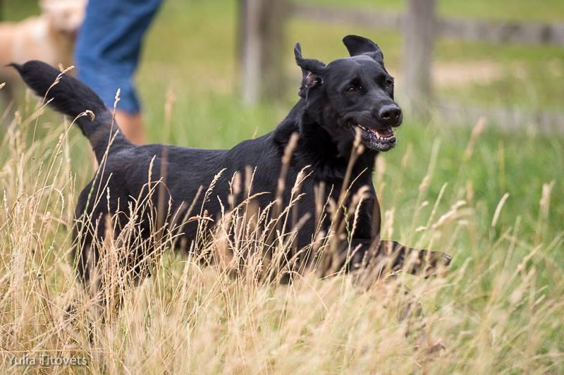 Black labrador running