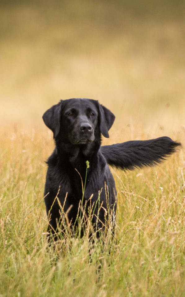 Gun dog working in long grass